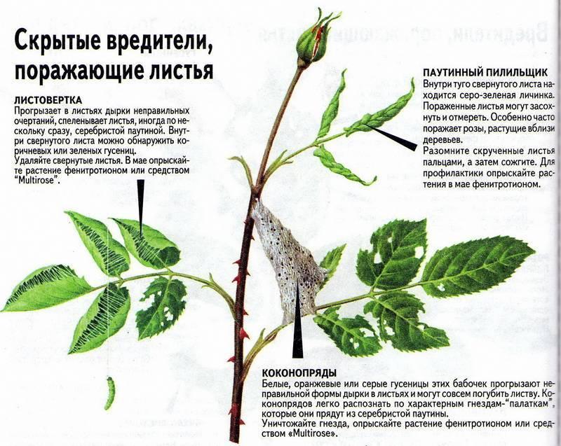 Розы: заболевания и вредители, описание, лечение народными средствами