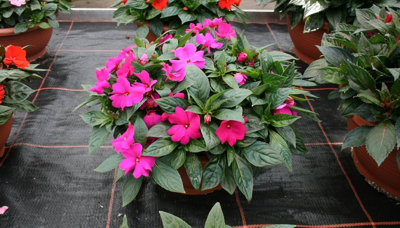 Бальзамин садовый — выращивание на клумбе