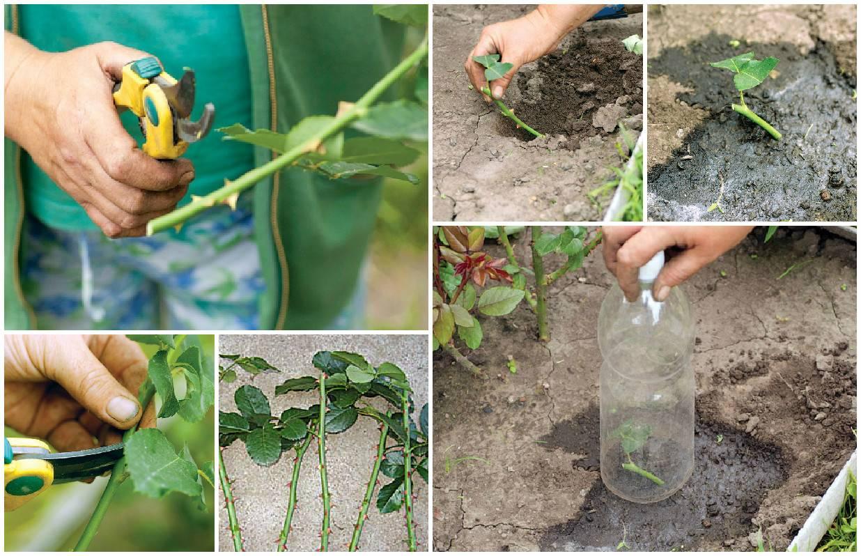 Чабрец выращивание из семян