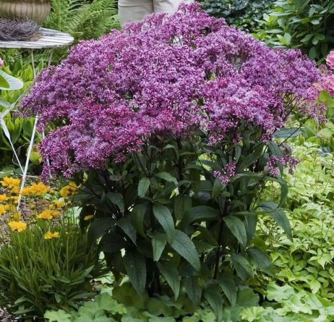 Посконник – фото цветка и его виды