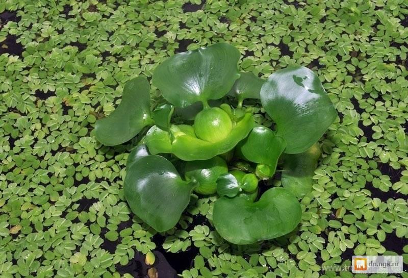 Водный гиацинт или эйхорния — посадка и уход, хранение зимой