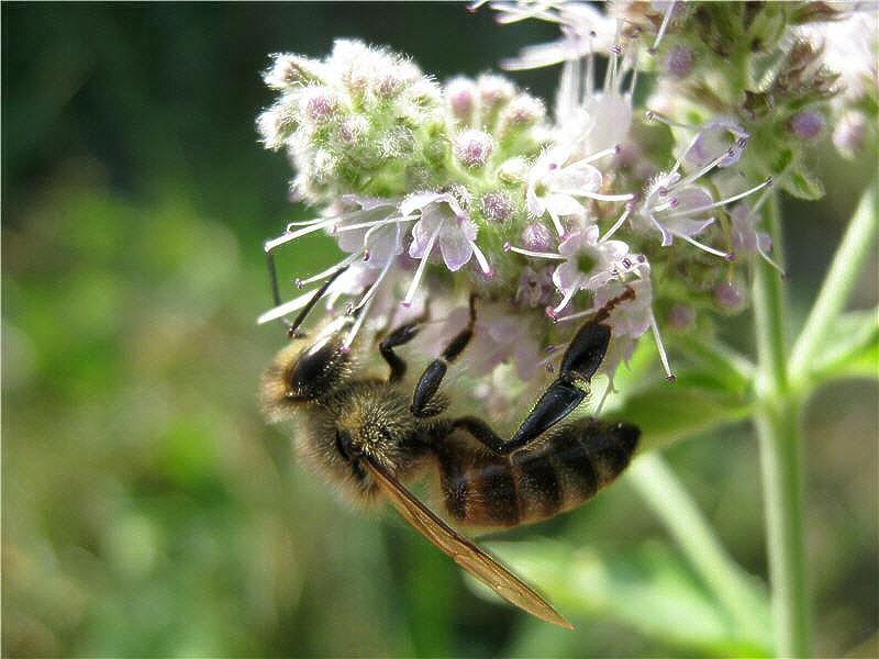 Лучшие растения-медоносы для пчёл