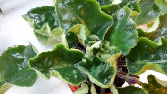 Почему закручиваются края листьев у гортензий: что делать, чем обработать кусты