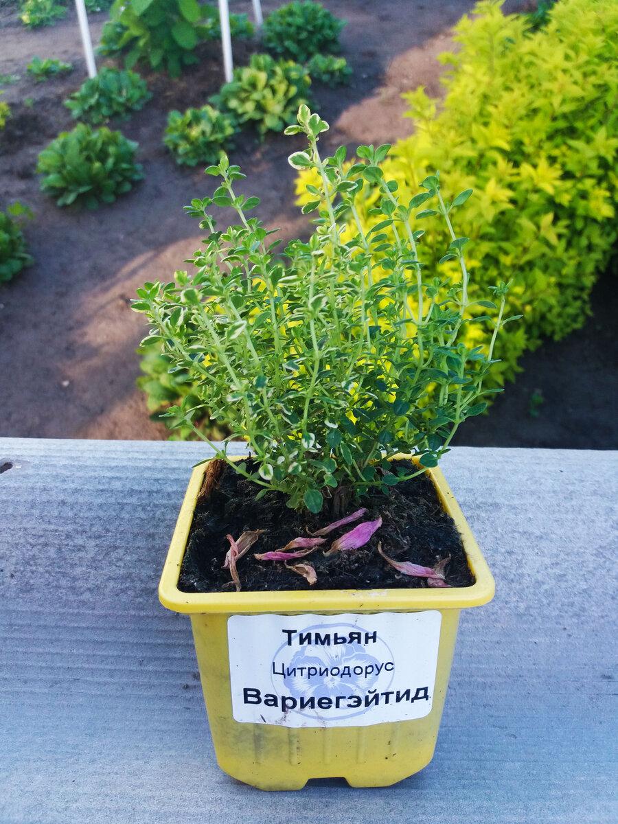 Тимьян лимонный: описание сорта,выращивание, посадка и уход, фото, отзывы