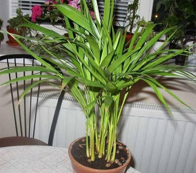 Пальма арека комнатная: описание, размножение, уход, обрезка дома - читайте на орхис