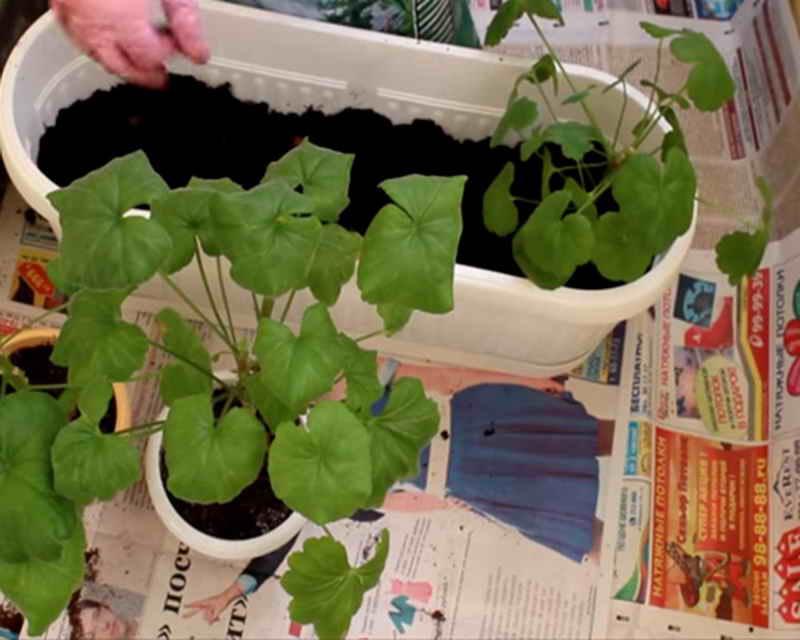 Как посадить герань отростком без корней в землю или в воду: можно ли и как правильно размножить цветок в домашних условиях, как взять и переместить в горшок?