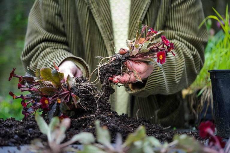 Посадка и уход мальвы многолетней: потрясающей красоты цветок