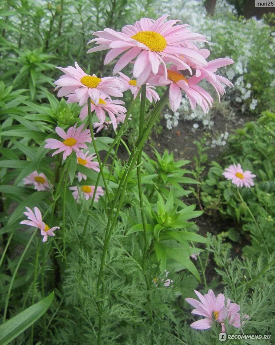Цветок пиретрум: посадка и уход в открытом грунте, фото, выращивание из семян