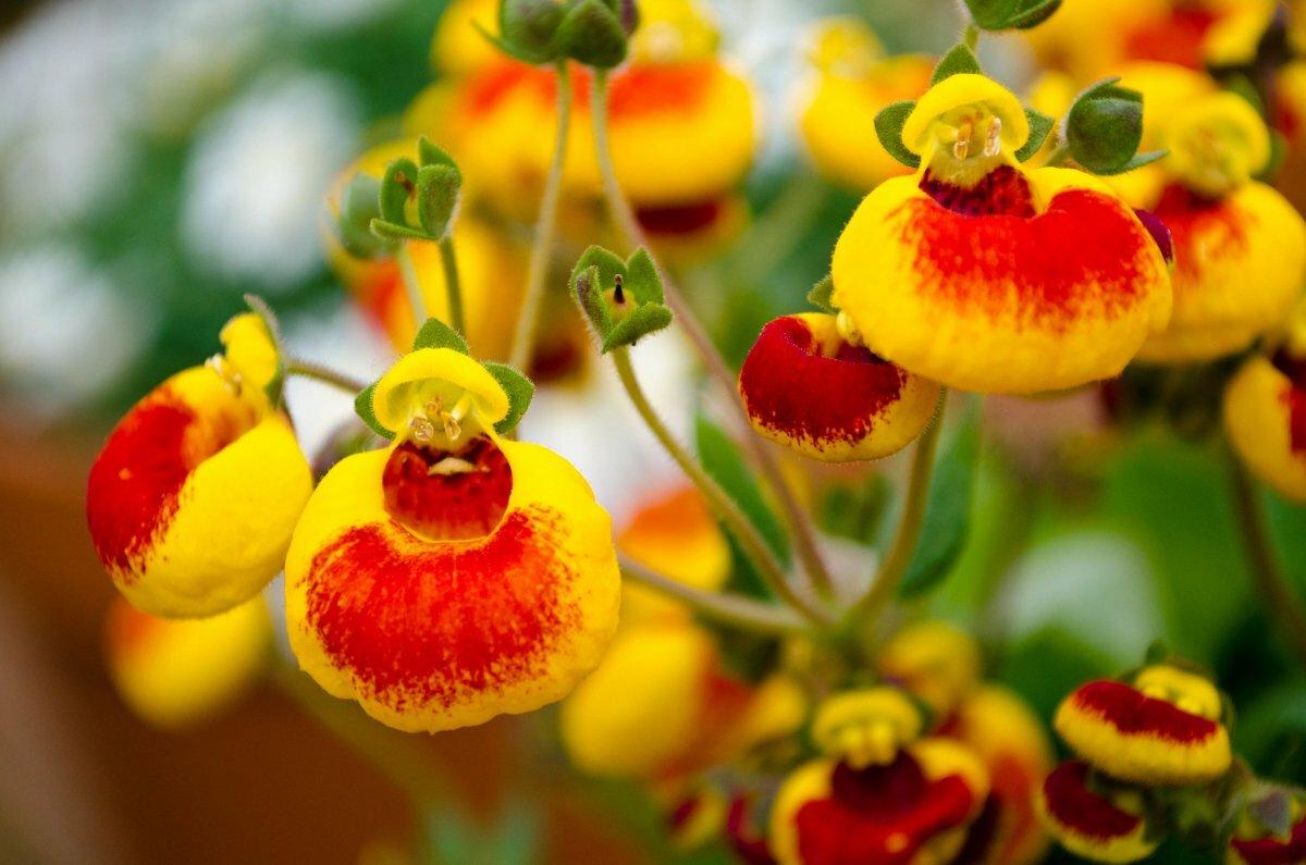Кальцеолярия (36 фото): посадка и уход за цветком в домашних условиях. выращивание из семян в открытом грунте. описание кальцеолярии морщинистой и других видов