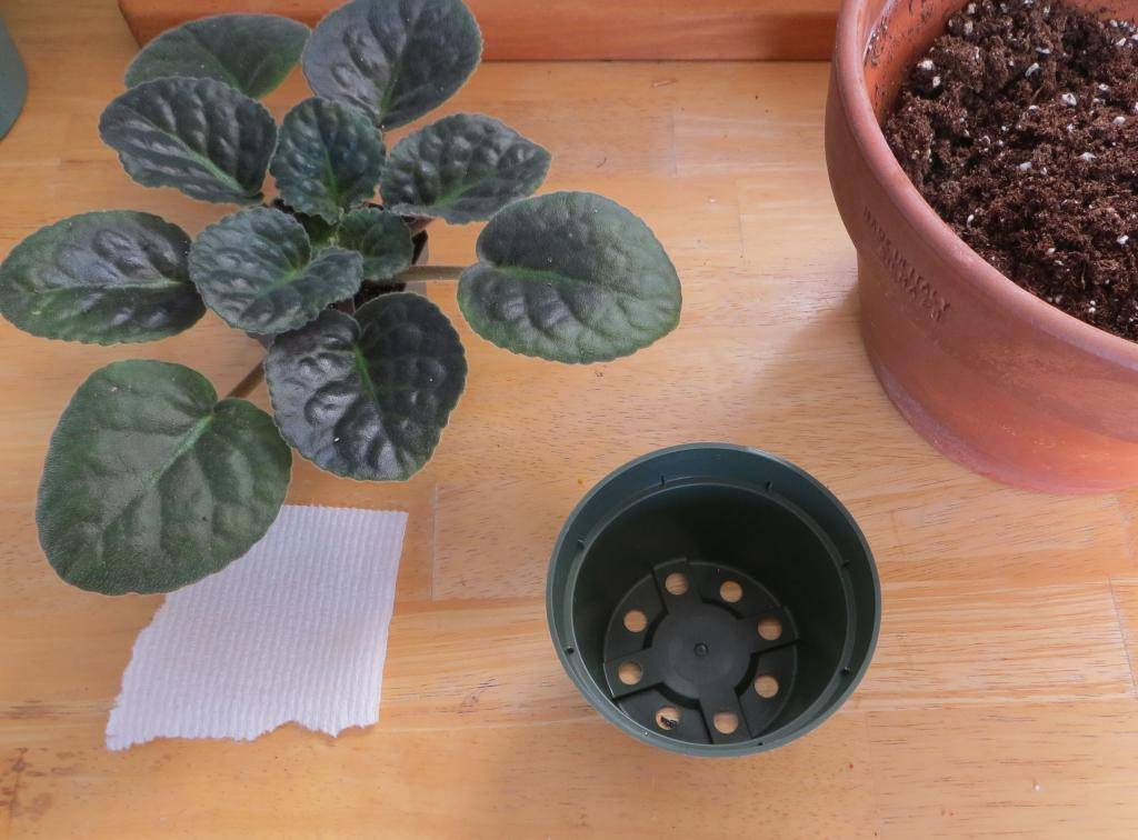 Тонкости процесса: как пересаживать фиалки? уход за растением