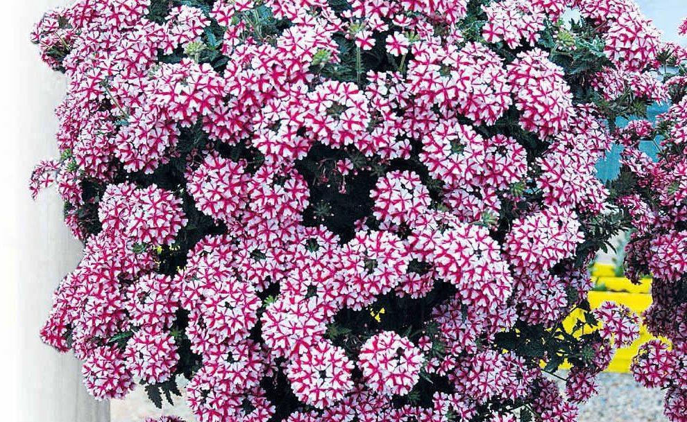 Гибридная вербена, травянистое растение для открытого грунта: фото, выращивание из семян и подробное описание
