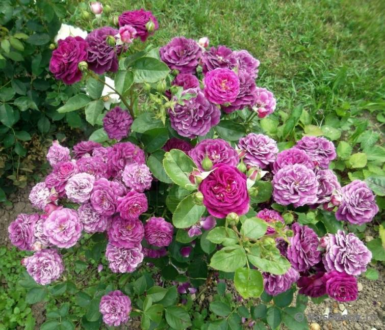 Розы сорта флорибунда