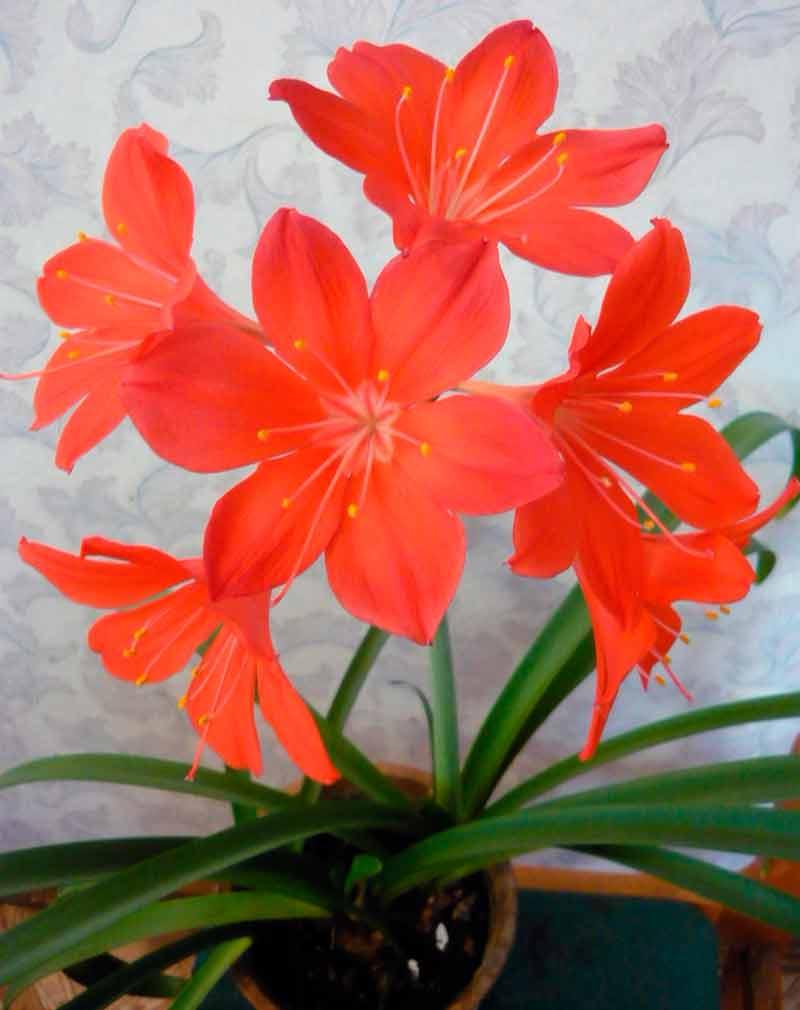 Цветок валлота: особенности ухода в домашних условиях