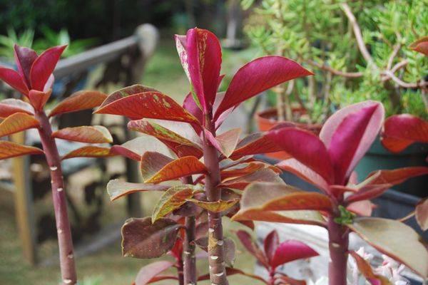 Растение синадениум: уход в домашних условиях