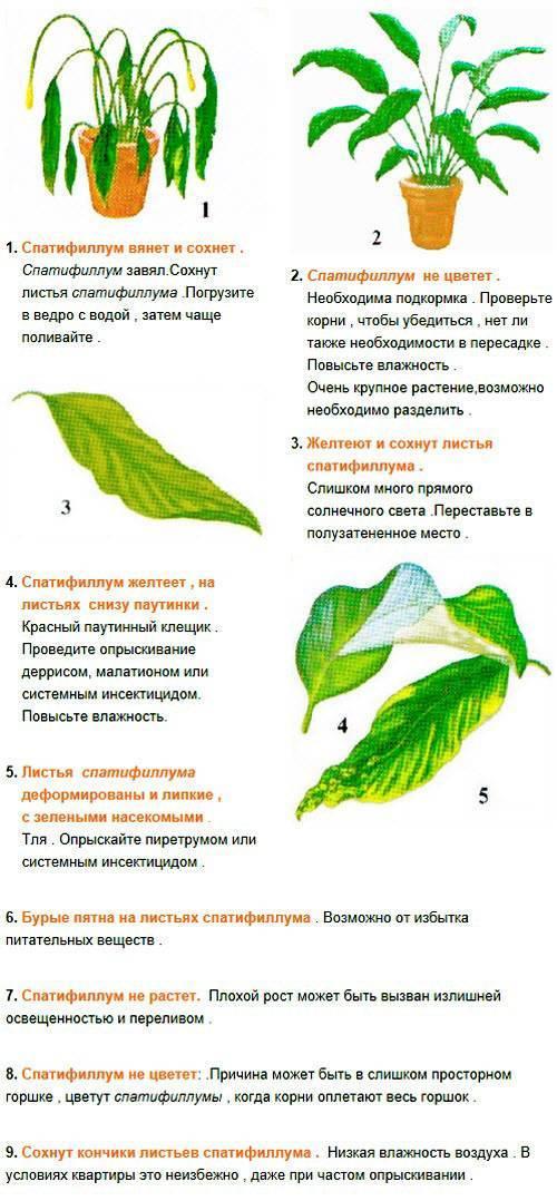 """Спатифиллум опустил листья и не поднимает: почему эта часть цветка поникает, что делать, как спасти """"женское счастье"""" и избежать проблем в дальнейшем"""