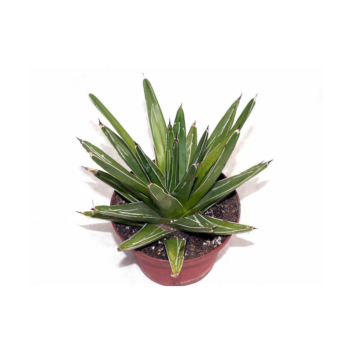 Комнатное растение агава: голубая, каса, американская, королевы виктории