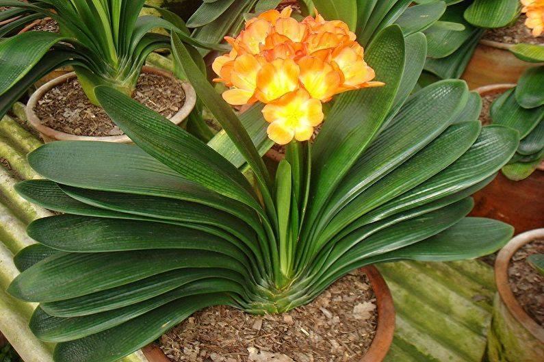 Цветок кливия – особенности ухода, размножение и пересадка кливии
