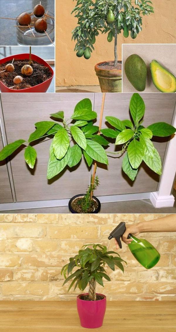 Как вырастить авокадо из косточки у себя дома