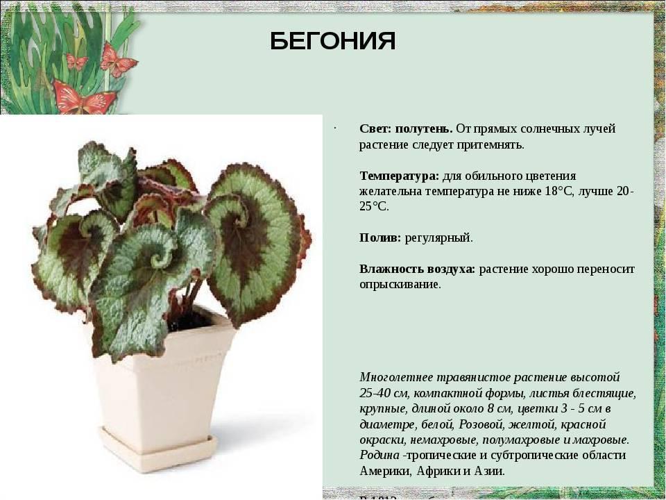Примеры по уходу за цветком ирезине дома: необходимые условия для цветения