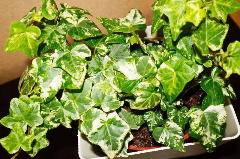 Секреты выращивания плюща. уход за комнатным растением и профилактика недугов