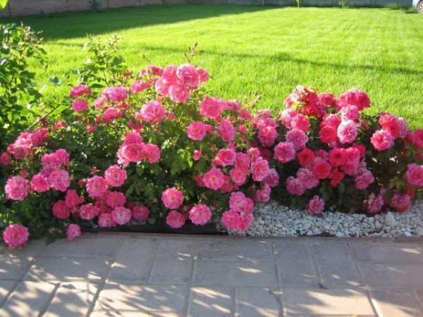 Сорт роз из семейства чайно-гибридных титаник: описание цветка, как выращивать