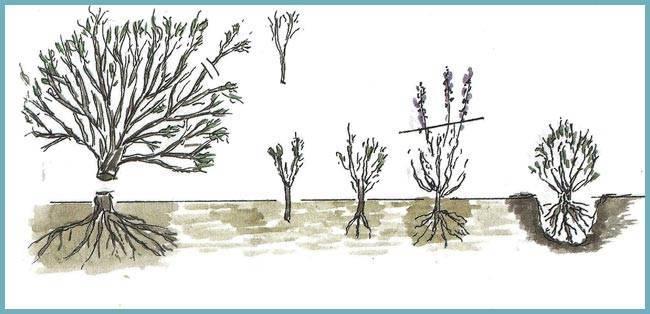 Как размножить ежевику весной, летом и осенью: способы (отводками, отпрысками, черенками)