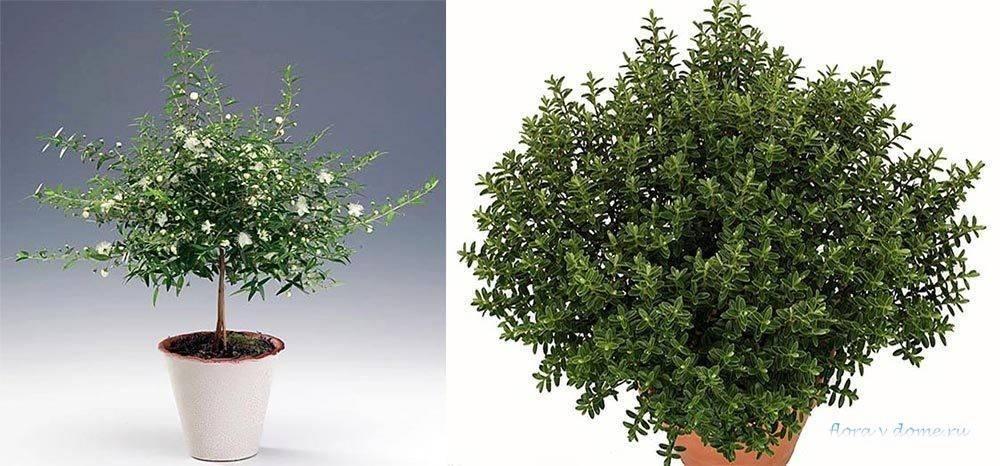 Миртовое дерево: описание и уход в домашних условиях