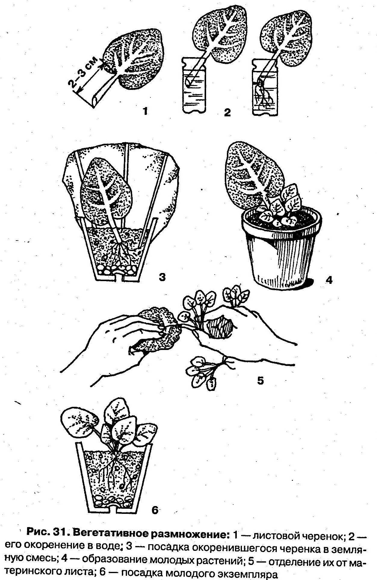 Фиалка комнатная: размножение растения различными способами