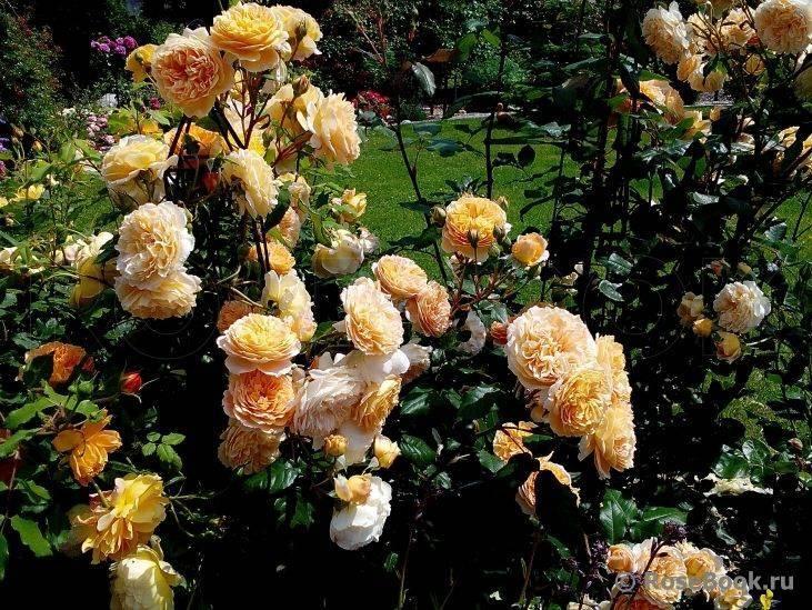 Роза кроун принцесс маргарет (crown princess margareta)