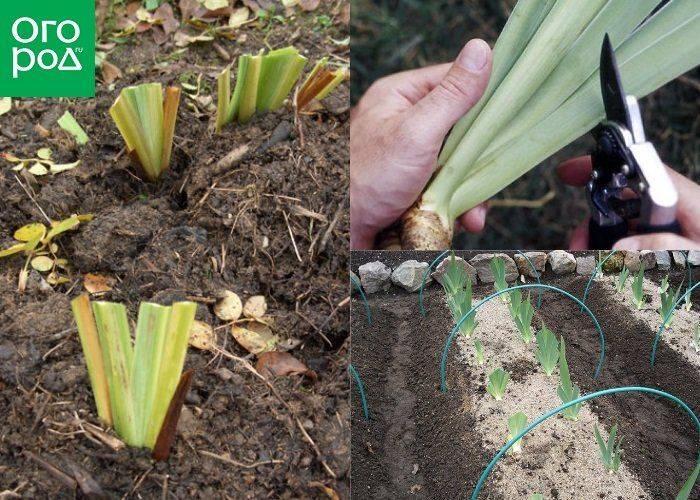 Как размножить лилейник делением куста