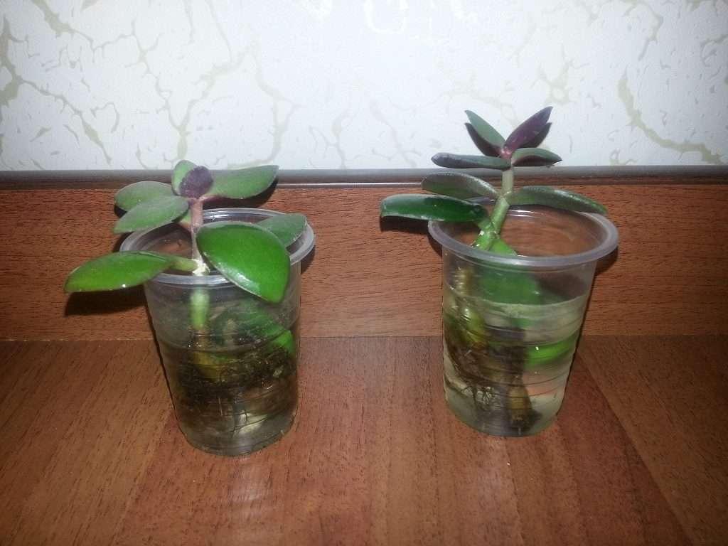 Денежное дерево — как посадить отросток в домашних условиях