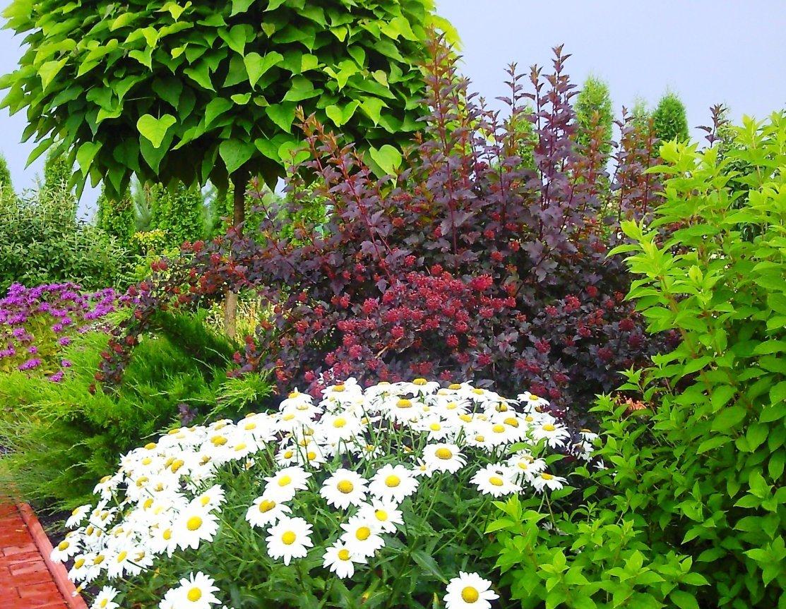 Описание видов и сортов садовых ромашек, посадка, выращивание и уход