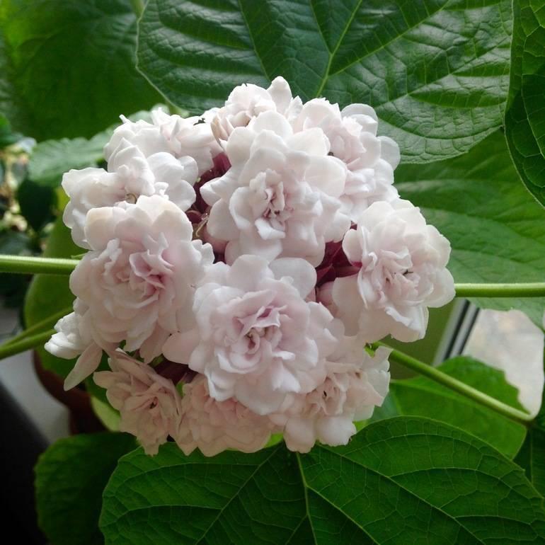 Клеродендрум бунге: история и описание, правила посадки в открытый грунт и фото растения