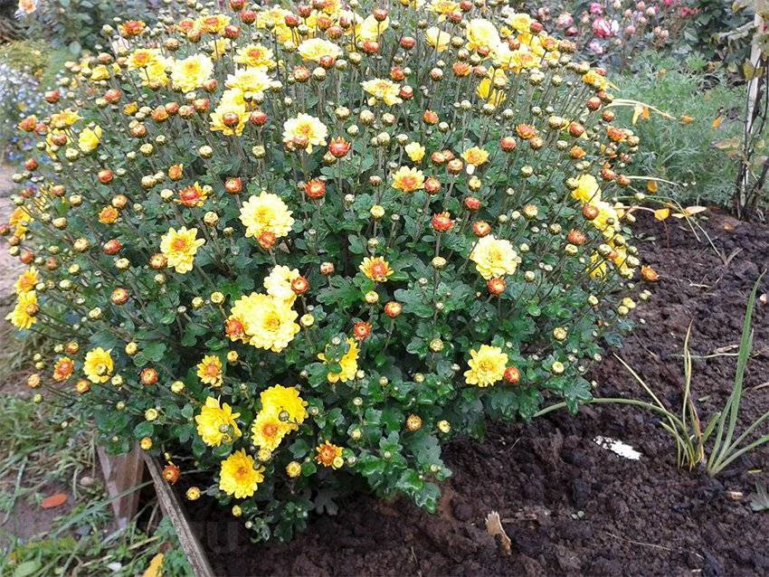 Хризантема корейская: виды и рекомендации по выращиванию