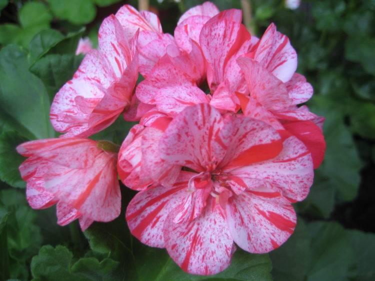 Пеларгония плющелистная — уход в домашних условиях