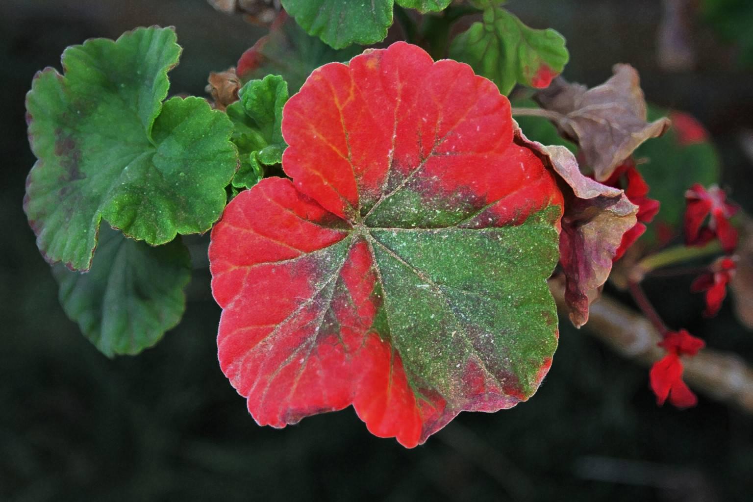 Почему желтеют листья у герани и как их лечить