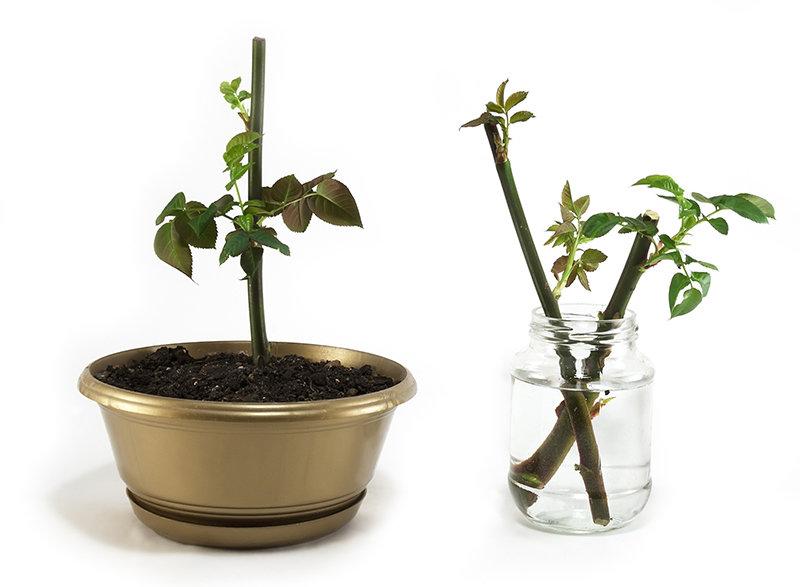 Можно ли выращивать китайскую розу в открытом грунте
