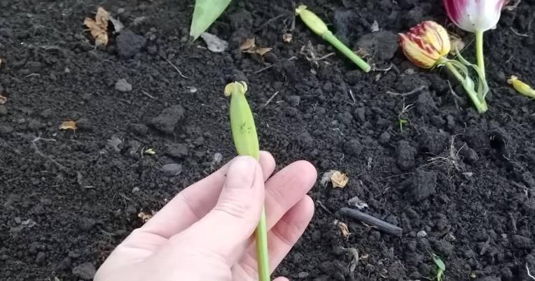 Когда выкапывать тюльпаны после цветения. как хранить луковицы до посадки