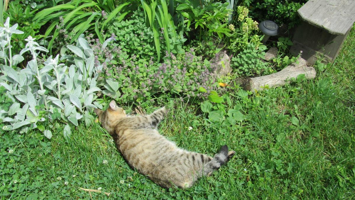 Что такое кошачья мята, для чего нужна, фото, где взять, влияние на кошек