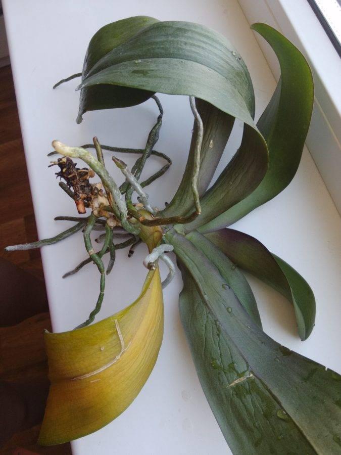 У орхидеи вылезли корни из горшка: причины, что делать