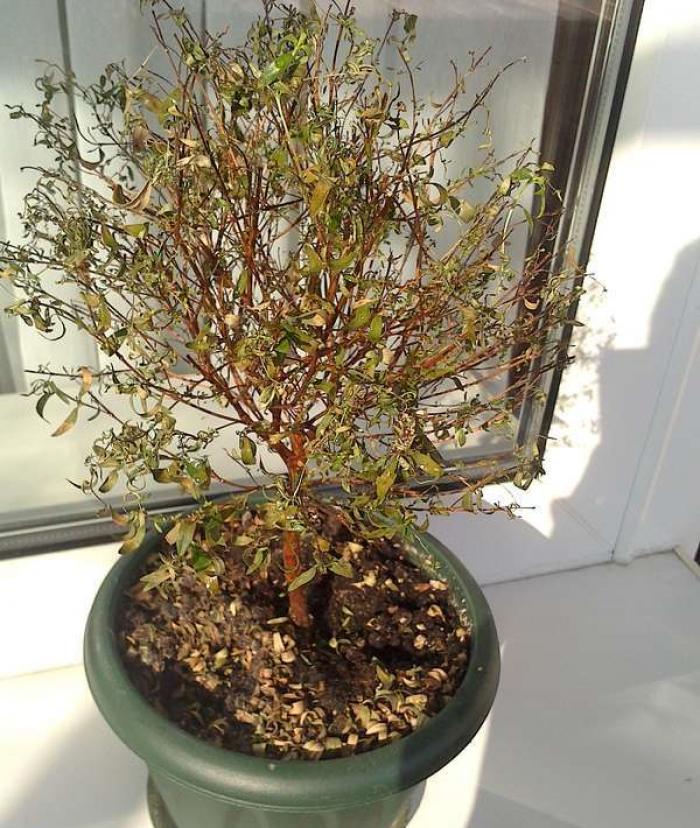 Как болеет денежное дерево: почему желтеют и вянут листья у толстянки, что делать