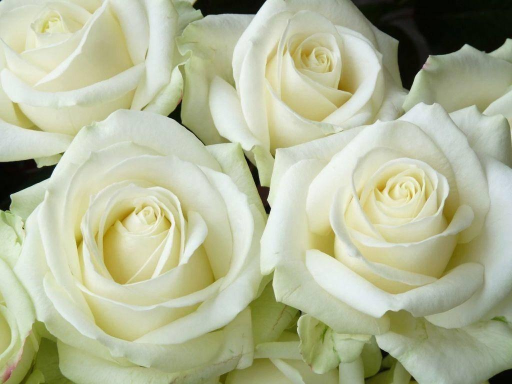 Лучшие сорта роз для сада и их характеристики