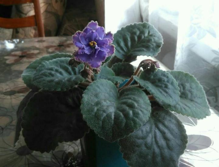 Blue dragon фиалка - происхождение, особенности внешнего вида, правила ухода за растением