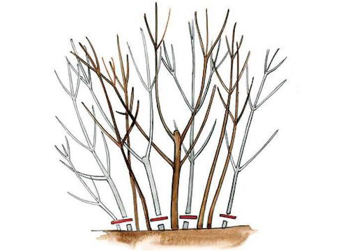 Обрезка чубушника — омолаживающая, формирование