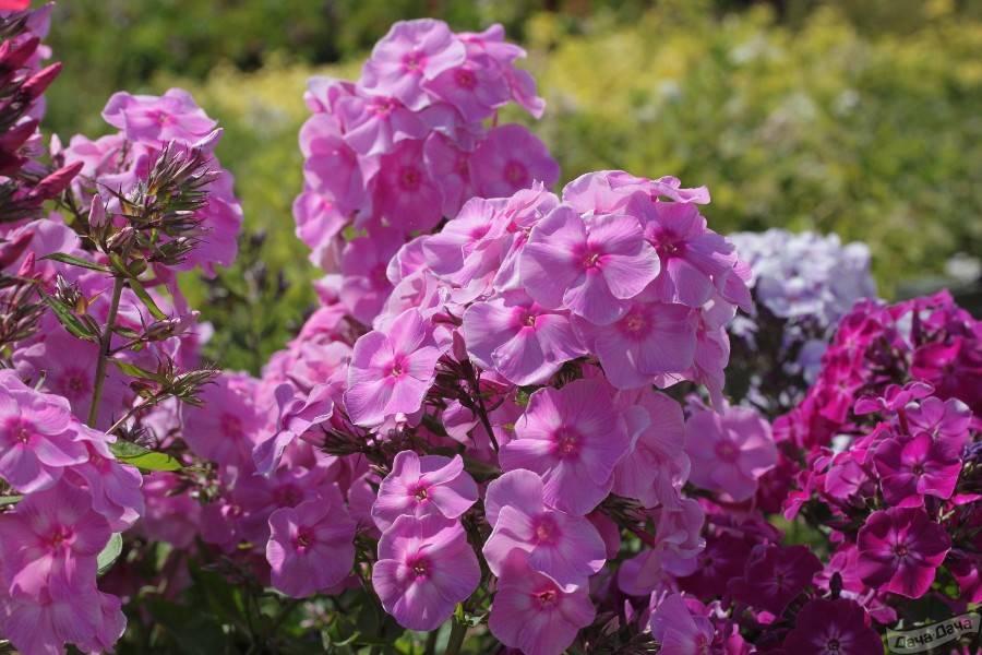 Выращивание флоксов из семян: посадка, уход за рассадой, правила пикировки