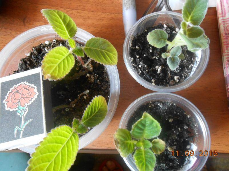 Размножение глоксинии: увлекательное занятие в домашних условиях