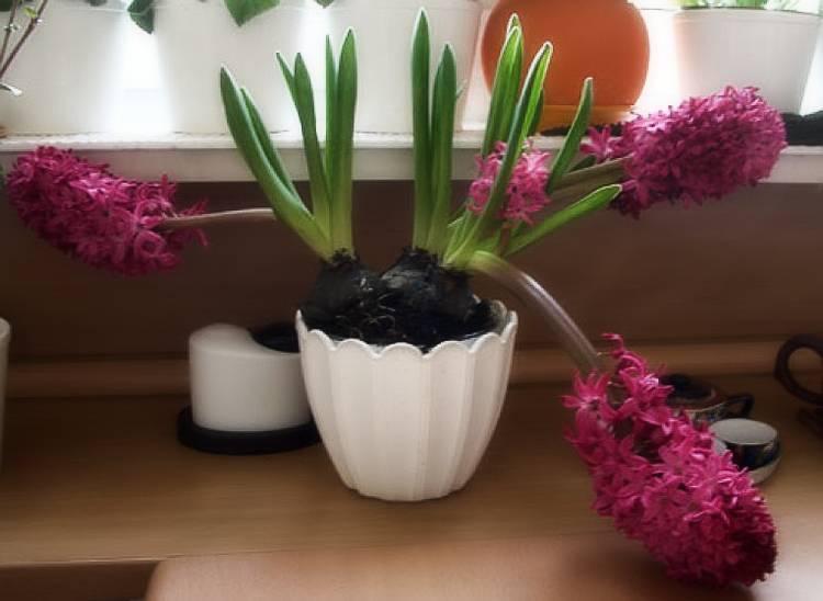 Гиацинт: размножение и уход за цветком в домашних условиях