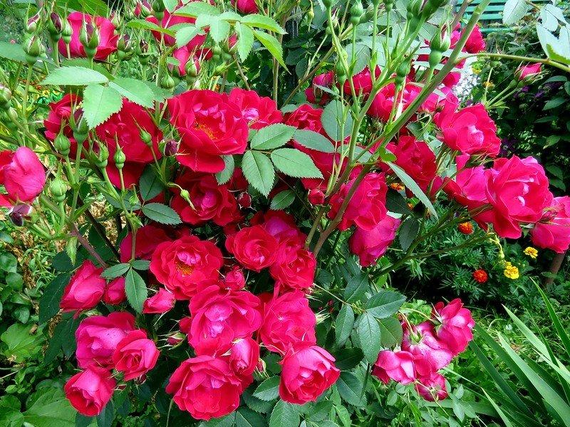 Роза аделаида худлесс описание сорта советы по посадке и уходу