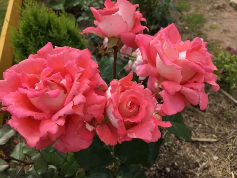 Роза грандифлора — правильный уход за прекрасным цветком
