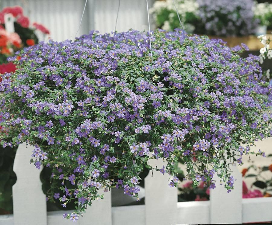 Калибрахоа (29 фото): выращивание цветка из семян, посадка и уход в домашних условиях. когда сеять калибрахоа на рассаду?